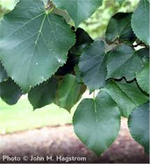 buy affordable silver linden trees at our nursery