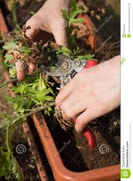 treatment plants in self watering pot royalty free stock photo