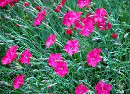 sweet william flowers sweet william dianthus for sale lowest prices online today