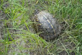 western box turtle terrapene ornata box turtles