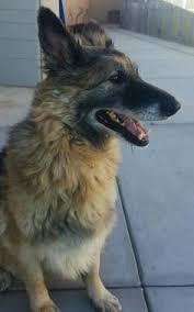 belgian sheepdog rescue adoption petango com u2013 meet mufasa a 1 year dutch shepherd retriever
