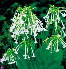 100 flowering tobacco plants variegated