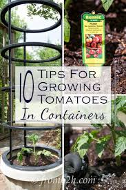 Vegetables For Container Gardening by Best 25 Growing Tomatoes In Containers Ideas On Pinterest
