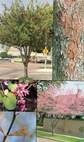 11 best trees images on forests prunus and flower colors