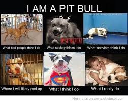 Pitbull Meme - pit bull haters exposed pit bull haters cognitive dissonance