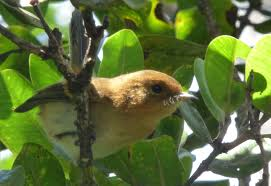 native hawaiian plants killing birds invasive species in hawaii birds in a changing world