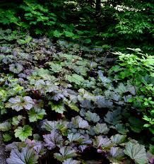 shade native plants native coralbells carolyn u0027s shade gardens