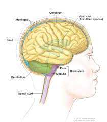 Brain Stem Anatomy Definition Of Brain Stem Nci Dictionary Of Cancer Terms