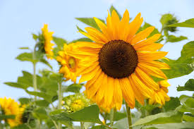 Girls Favourite Flowers - according to matt sunflowers