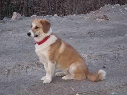 beagle x australian shepherd corgi beagle mix laura williams