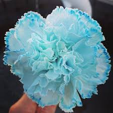 blue carnations blue dyed carnation pictures photos and images for