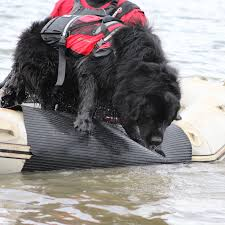 affenpinscher swimming canada u0027s coast guard dog getting ready to jump into the ocean to