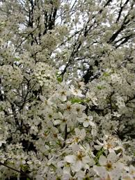 trees with white flowers white flowers pear tree trees free nature pictures by