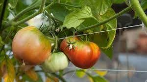 more pesky tomato pests organic gardening blog