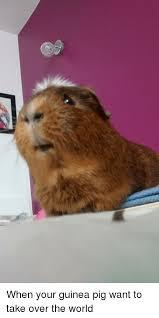 Shaved Guinea Pig Meme - guinea pig and guinea pig meme on sizzle