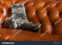 Leather Sofa Chesterfield by British Cat On Leather Sofa Chesterfield Stock Photo 307534601