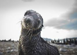 antarctic fur seal facts pictures u0026 more about antarctic fur seal