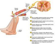 Knee Reflex Arc Types Of Reflex Hammer Operation Hospital Swag Pinterest
