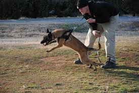 belgian sheepdog clipart gotta love a belgian malinois this pup is only 6 months old