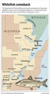 Wisconsin rivers images A century later whitefish are turning up in wisconsin rivers jpg