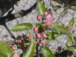 around the end of apple blossom time the official blog for the