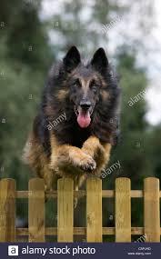 belgian sheepdog nc dog jump fence stock photos u0026 dog jump fence stock images alamy