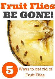 Best  Fruit Flies In House Ideas On Pinterest Fruit Fly Spray - Small flies around kitchen sink