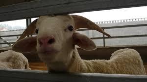 inside the wool industry peta