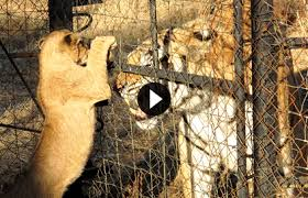 blood lions a call to stop canned