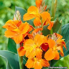 cana lilly orange magic canna canna indica american
