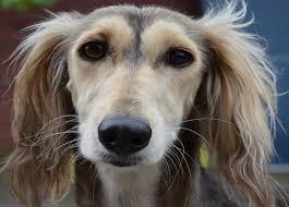 afghan hound breeders qld barad kennels italian greyhound tibetan spaniel saluki breeder
