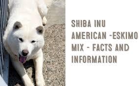 american eskimo dog training shiba inu american eskimo dog mix u2013 information and facts my