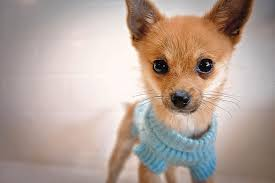 chihuahua sweaters teacup chihuahua in blue sweater photograph by susan sabo