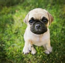 pug x boxer dog chihuahua pug mix a look at this cute combination practical paw