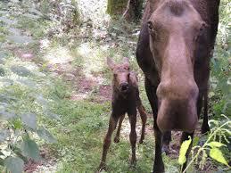 moose calf born at northwest trek wildlife park visit rainier
