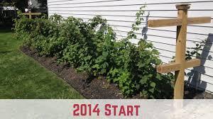 Rasberry Trellis How To Start Growing Raspberries 2014 Start Youtube