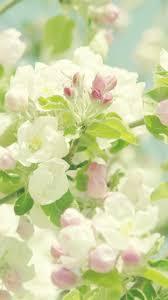 apple tree bloom wallpapers download wallpaper 720x1280 flowers blooming spring tree