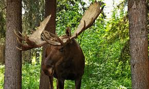when moose attack when moose attack howstuffworks