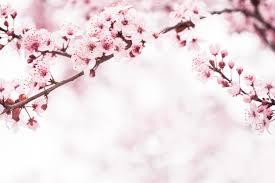 sydney cherry blossom festival at auburn botanic gardens the ceo