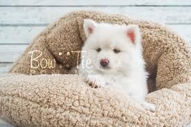 1st puppy 17 boy bowtie pomsky world