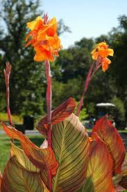 Cana Lilly 74 Best Cannas Images On Pinterest Canna Lily Garden Plants And