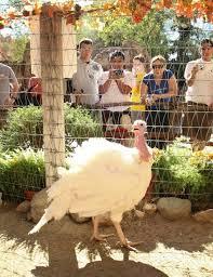 happy thanksgiving pardoned presidential turkeys at disneyland