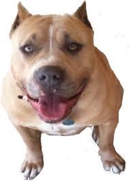 american pit bull terrier registry american pit bull registry pit bull myths