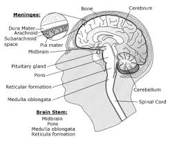 What Is The Main Function Of The Medulla Oblongata Cancer Brain Tumours The Brain Structure And Functions