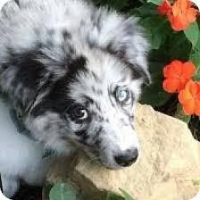 australian shepherd adoption manchester nh australian shepherd mix meet bleu pending a dog