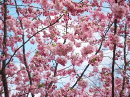 free photo flowers pink tree flower tree free image on
