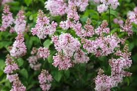 garden design garden design with prune lilac bush now with