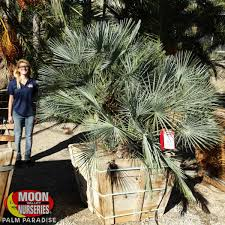 mediterranean fan palm tree blue mediterranean fan palm palm tree palm paradise nursery