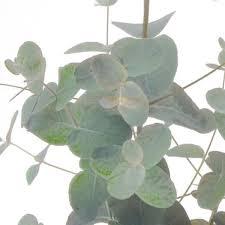 silver drop eucalyptus eucalyptus silver drop eucalyptus gunnii my garden insider