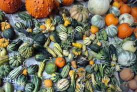 harvesting the season s pumpkins the martha stewart